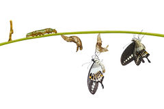 Isolated transformation life cycle of banded swallowtail butterfly (Papilio demolion) royalty free stock photo