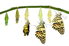 Isolated transformation of Lime Butterfly Stock Photos