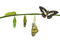 Isolated transformation of Lime Butterfly on white Stock Photography