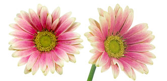 Isolated transvaal daisy Stock Photo