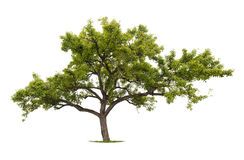 Isolated tree Royalty Free Stock Images
