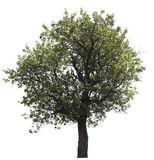 Isolated tree Royalty Free Stock Photography