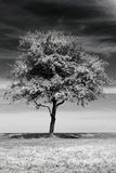 Isolated tree Stock Image
