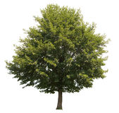 Isolated tree. Isolated green tree over white background Royalty Free Stock Photo