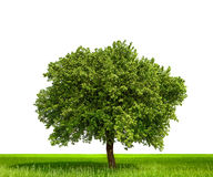 Isolated tree. Against a white background Stock Photo