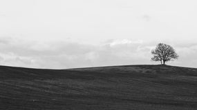 Isolated tree. In the tuscan countryside Royalty Free Stock Images