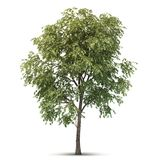 Isolated Tree. Royalty Free Stock Image