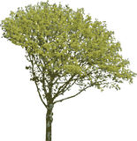The isolated tree Royalty Free Stock Photography