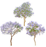 Isolated tree. Jacaranda purple blooming isolated tree Royalty Free Stock Photography