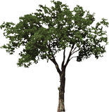 The isolated tree Stock Photo