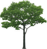 The isolated tree Stock Photography