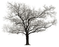 Isolated Tree. Tree without leaves isolated in white background Stock Images