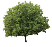 Isolated tree. Isolated on white walnut green tree Stock Images