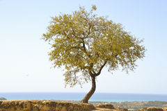 Isolated tree. On the ancient ruins in Agrigento Royalty Free Stock Images