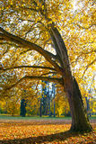 Isolated Tree in Autumn Day Royalty Free Stock Photography