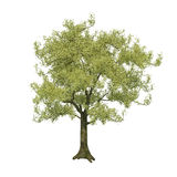 Isolated Tree. Botany branch design environment flora flower Royalty Free Stock Photo