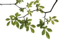 Isolated tree Stock Image