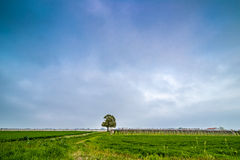 Isolated tree in the countryside Royalty Free Stock Photo
