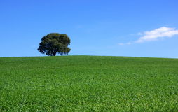 Isolated tree in field. Royalty Free Stock Photography