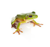 Isolated tree frog Stock Photos