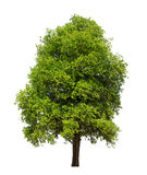 Isolated tree with green leaf on white background Stock Photography