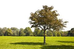 Isolated tree in a green meadow in a perfect white background fo Stock Photo