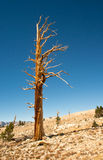 Isolated tree in the High Sierra Mountains Royalty Free Stock Photography