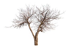 Isolated tree without leaves Royalty Free Stock Photo