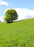 Isolated tree in the middle of the green meadow Stock Photo