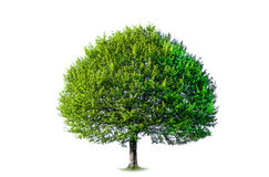Isolated Tree. Photo of a tree, isolated on white background Stock Photography