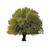 Isolated Tree Royalty Free Stock Image