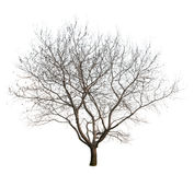Bare Tree. Photo of a tree at winter season, isolated on white background. PNG file with full transparency is available as additional format Royalty Free Stock Photos