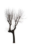 Isolated Bare Tree Royalty Free Stock Photos
