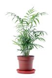 Isolated Tree in pot on White Background royalty free stock photo