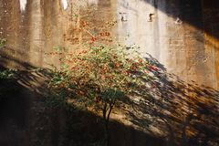 Landschaftspark Duisburg, Germany: Isolated tree with red berries in an abandoned tunnel shining bright in sunlight and casting stock photography