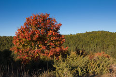 Isolated tree with red foliage Royalty Free Stock Photos