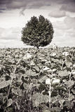 Isolated tree in a sunflowers Stock Photo