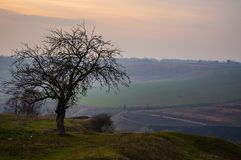 An isolated tree at sunset royalty free stock image