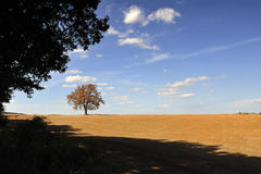 Isolated tree in the Tuscan countryside Stock Photography