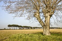 Isolated tree in a Tuscany countryside Royalty Free Stock Photo