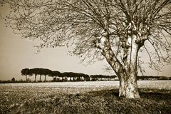 Isolated tree in Tuscany countryside Royalty Free Stock Photos