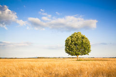 Isolated tree in a tuscany wheatfield Royalty Free Stock Photos