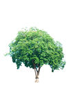 Isolated tree on white Royalty Free Stock Image