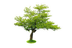 Isolated tree. Stock Image