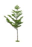 Isolated tree. Royalty Free Stock Photo