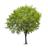 Isolated tree on white background. Isolated tree with green leaves on white background easy to di-cut and good for graphic design Stock Photos