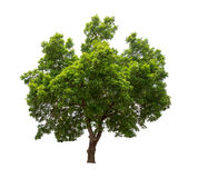 Isolated tree on white background. Isolated tree with green leaves on white background easy to di-cut and good for graphic design Royalty Free Stock Photo