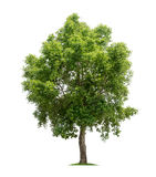 Isolated tree on white background. Isolated tree with green leaves on white background easy to di-cut and good for graphic design Stock Images