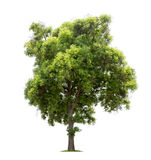 Isolated tree on white background. Isolated tree with green leaves on white background easy to di-cut and good for graphic design Royalty Free Stock Photography