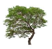 Isolated tree on white background royalty free stock image